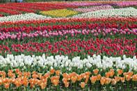 <p>Tulip field in Gujo, Japan // May 12, 2012</p>