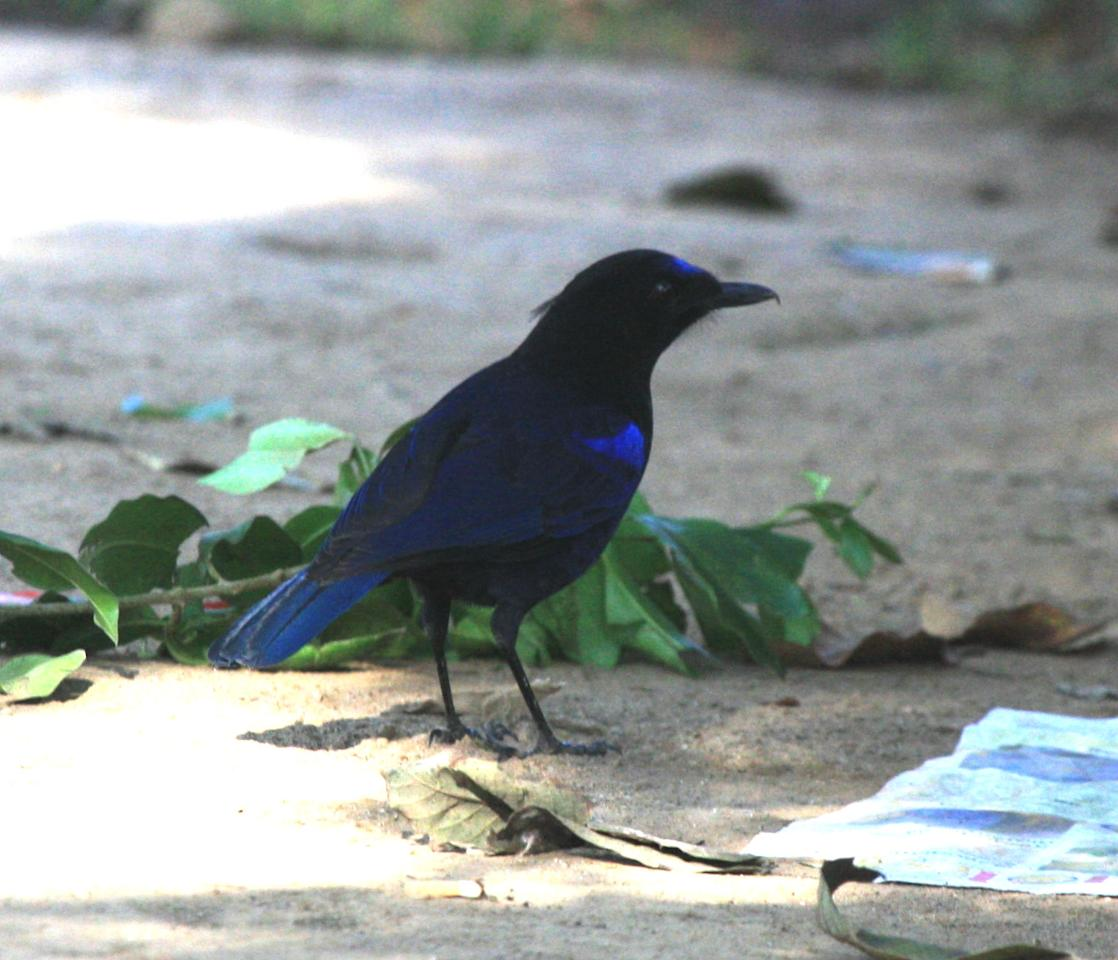 "<b>Malabar Whistling Thrush:</b> Famous for its startling human-like whistle, this bird is crow-like in size and gait. In the shade, even the plumage appears black until sunlight removes the deception and reveals the gleam of metallic blue. This bird wakes you up to its ""idle schoolboy"" tunes."
