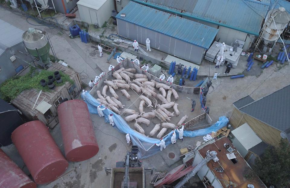 TOPSHOT - An aerial photo shows workers wearing protective suits and driving pigs to kill at a farm where pigs were confirmed to have been infected with African swine fever in Paju, a city near the inter-Korean border, on September 17, 2019. - South Korea on September 17 reported its first cases of African swine fever, becoming the latest country hit by the disease that has killed pigs from China to North Korea, pushing up pork prices worldwide. (Photo by Yelim LEE / AFP) (Photo by YELIM LEE/AFP via Getty Images)