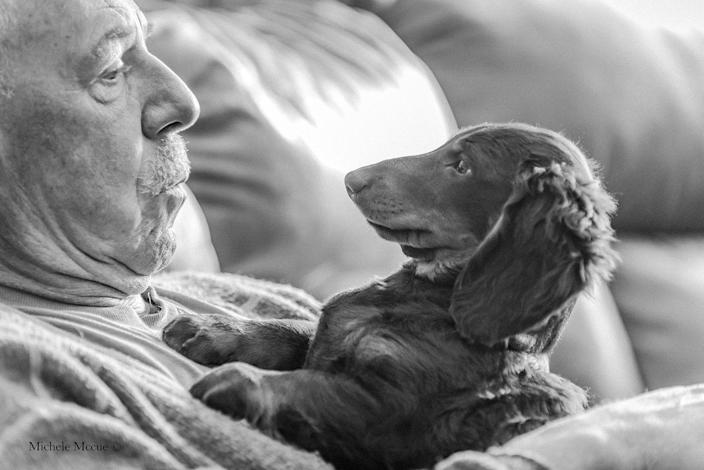<p>Here, a cute Dachshund puppy has been photographed on his owner's lap in the early hours of the morning.</p>