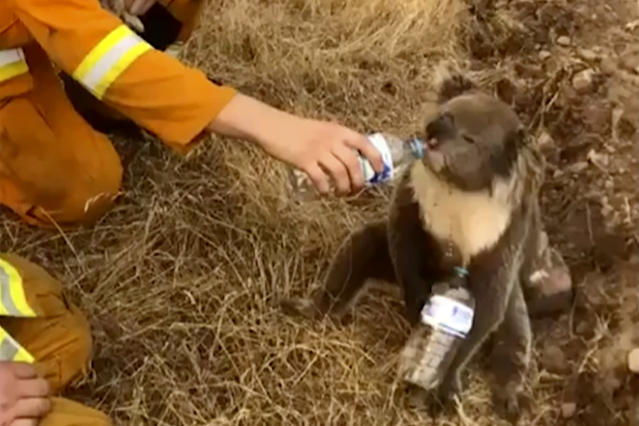 A koala drinks water from a bottle given by a firefighter in Cudlee Creek, South Australia. (Oakbank Balhannah CFS/AP)