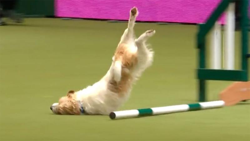 The exciteable pooch took a nasty tumble. Source: YouTube