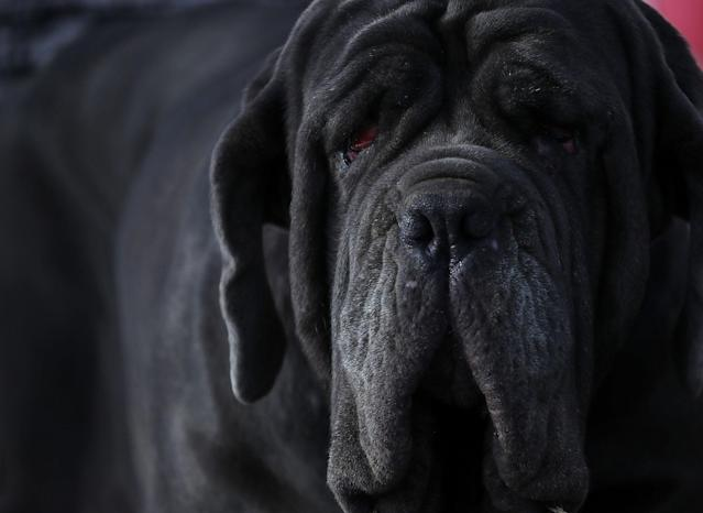 <p>A Neapolitan Mastiff named Martha rests on the stage after after winning the 2017 World's Ugliest Dog contest at the Sonoma-Marin Fair on June 23, 2017 in Petaluma, Calif. (Photo: Justin Sullivan/Getty Images) </p>