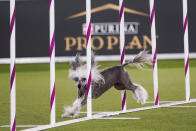 Judy Judy, a Chinese crested, competes during the finals of the agility competition at the Westminster Kennel Club dog show in Tarrytown, N.Y., Friday, June 11, 2021. A border collie named Verb zoomed — and not the virtual way — to a second-time win with handler Perry DeWitt of Wyncote, Pennsylvania. The two also won the agility championship in 2019. (AP Photo/Mary Altaffer)