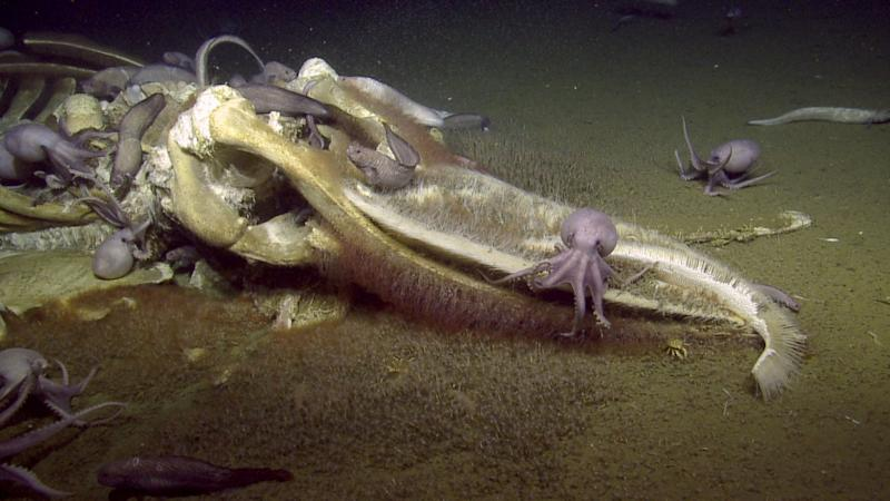An image taken by the Nautilus off the coast of California. (Photo: Ocean Exploration Trust and NOAA ONMS)