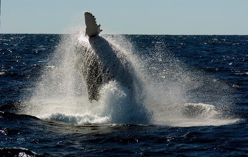 Each year humpback whales migrate north from the Antarctic to the warmer climate off Australia's coastline to mate and give birth