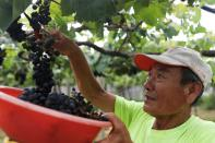 Hung Chi-pei, 72, the owner of the grape farm harvest grapes for winemaking at Shu Sheng Leisure Domaine in Taichung,