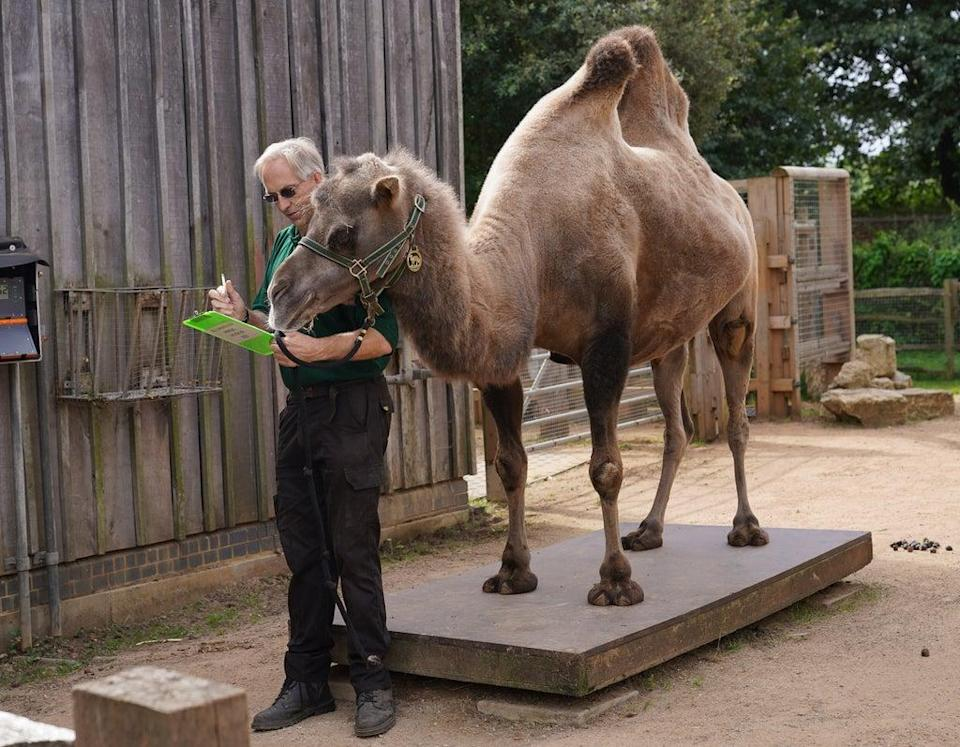 Noemie the Bactrian camel checks keeper Mick Tiley's work on the weigh-in (Yui Mok/PA) (PA Wire)