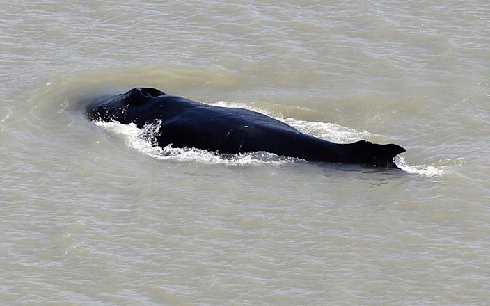 The humpback whale was spotted swimming in the East Alligator River - -/Northern Territory Government