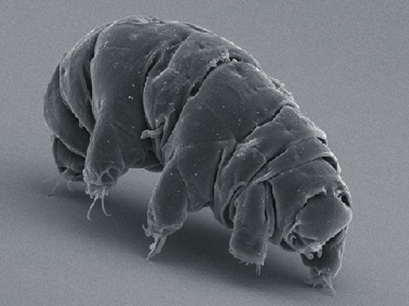 Tardigrades are also known as 'water bears' or 'moss piglets': Wikipedia