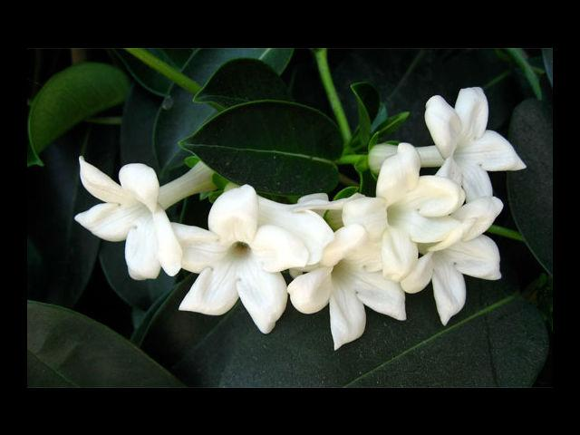 <b>Jasmine means Grace and Beauty </b><br> Do you need a reason now to gift her jasmine flowers? Tell her how you adore her beauty with a bunch of these exquisite darlings.