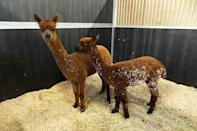 These two Alpacas belonging to a local farmer were among the animals evacuated when the area was threatened by fires