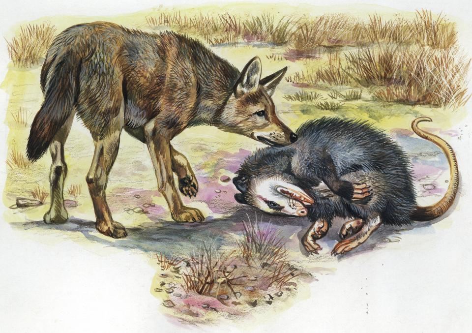UNSPECIFIED - CIRCA 2003: Virginia Opossum (Didelphis virginiana) pretending to be dead to avoid being caught by a predator, illustration. (Photo by DeAgostini/Getty Images)