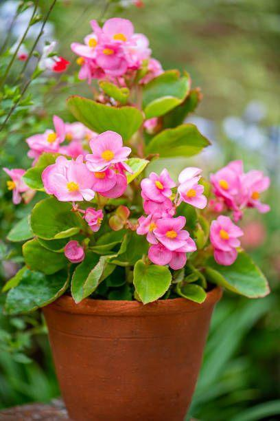 "<p>These low-maintenance annuals bloom continuously without the need for you to deadhead (pinch spent blooms). The come in a wide range of types and colors including rose, red, white, salmon, or orange. Begonias need mostly shade, though some varieties can take some sun.</p><p><a class=""link rapid-noclick-resp"" href=""https://www.provenwinners.com/plants/begonia/funky-orange-begonia-x-hybrida"" rel=""nofollow noopener"" target=""_blank"" data-ylk=""slk:SHOP BEGONIAS"">SHOP BEGONIAS</a></p>"
