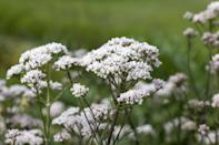 """<p>Dr. Pannel also recommends valerian root for anxiety. """"Research shows that when taken, it <a href=""""http://pubmed.ncbi.nlm.nih.gov/18602406/"""" class=""""link rapid-noclick-resp"""" rel=""""nofollow noopener"""" target=""""_blank"""" data-ylk=""""slk:increases GABA"""">increases GABA</a> or gamma aminobutyric acid, which is a known neurotransmitter that produces a calming effect,"""" she explained. Dr. Pannel added that valerian root works best when it's taken for a few weeks and, at higher doses, it can also be used to treat insomnia. (Of course, you should always talk to your doctor if you're having trouble sleeping.)</p>"""