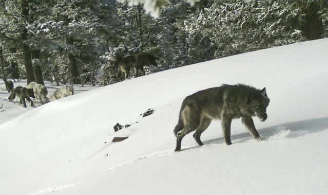 This Feb. 1, 2017 photo provided by the Oregon Department of Fish and Wildlife shows the Western gray wolf Snake River pack seen by a remote camera in the Hells Canyon National Recreation Area. (ODFW via AP)