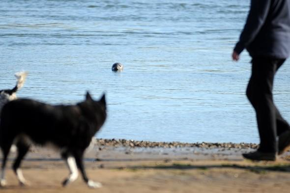 Dog owner watches in horror as labrador mauled to death by seal at beach