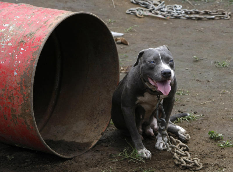 A pit bull which was rescued from South Korean nationals over the weekend, sits chained next to a steel drum which serves as a dog house Tuesday, April 3, 2012 at a coffee farm lot in San Pablo city, Laguna province, south of Manila, Philippines. Dozens of pit bulls, rescued from a dogfighting ring will be put down starting Tuesday by animal welfare activists who said there are no facilities to rehabilitate them and prevent them from again being used in underground arenas. (AP Photo/Bullit Marquez)
