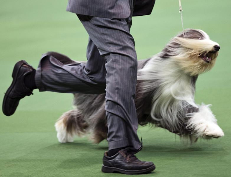 Colton Johnson shows off Swagger, an Old English Sheep Dog, with the hearding group during the Westminster Kennel Club dog show, Monday, Feb. 11, 2013, at Madison Square Garden in New York. (AP Photo/Frank Franklin II)