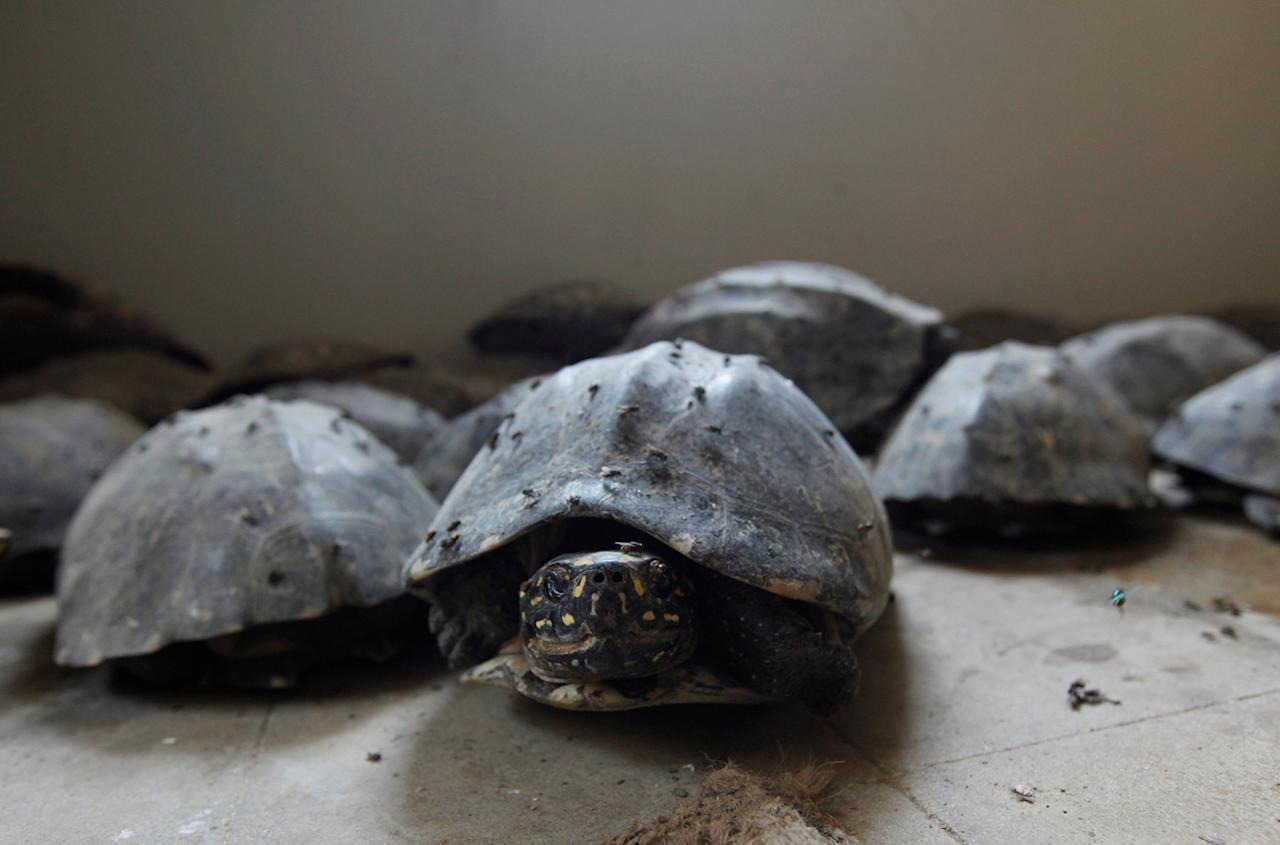 <p>Black spotted freshwater turtles are pictured after they were seized in a raid, at Sindh Wildlife Department in Karachi, Pakistan, April 28, 2016. (Photo: Akhtar Soomro/Reuters) </p>