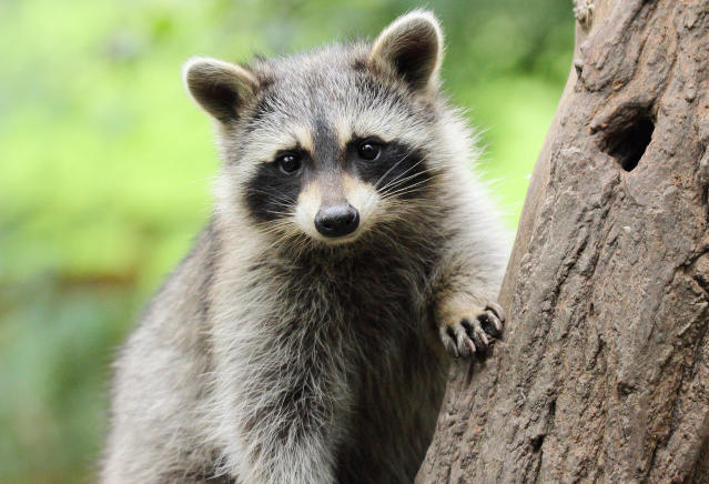 Raccoons are wonderful animals. And now a minor league baseball team is named after them. (AP Photo)