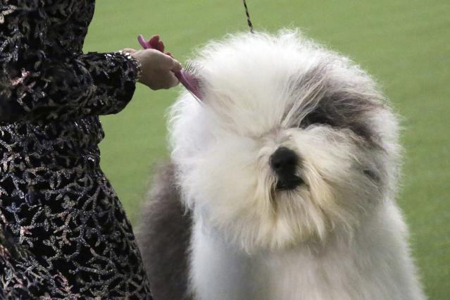 An Old English sheepdog name Bugaboo's Let It Go Blu Mtn gets her fur brushed during the Best of Breed event at the Westminster Kennel Club dog show on Monday, Feb. 11, 2019, in New York. (AP Photo/Wong Maye-E)