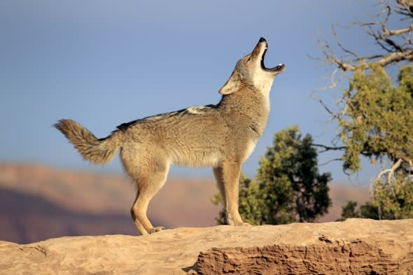 California town plans coyote cull after pet deaths