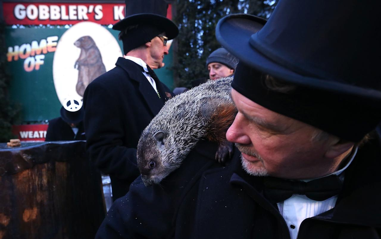 PUNXSUTAWNEY, PA - FEBRUARY 02:  Punxsutawney Phil climbs on the shoulder of groundhog co-handler John Griffiths (R) after Phil did not see his shadow and predicting an early spring during the 127th Groundhog Day Celebration at Gobbler's Knob on February 2, 2013 in Punxsutawney, Pennsylvania. The Punxsutawney 'Inner Circle' claimed that there were about 35,000 people gathered at the event to watch Phil's annual forecast.  (Photo by Alex Wong/Getty Images)