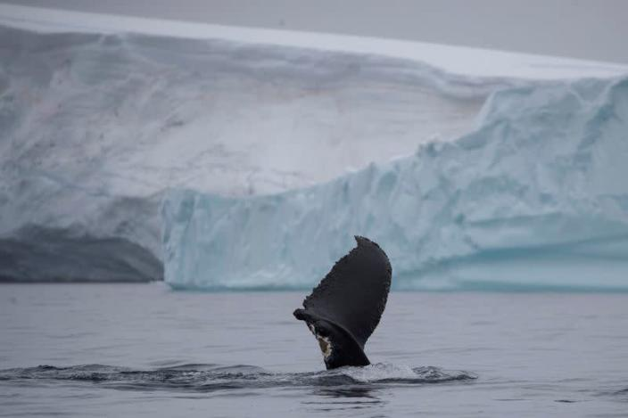 FILE PHOTO: A wounded whale that lost part of one of its fins swims near Two Hummock Island, Antarctica