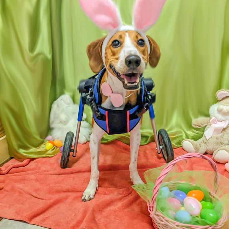 Wheelchair dog wins competition to become the newest Cadbury bunny (Photo: Walkin' Pets)