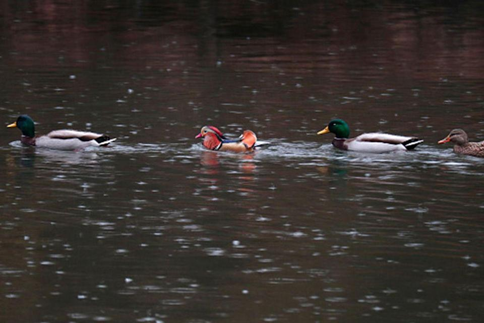 """<p>A <a href=""""http://gothamist.com/2018/11/26/mandarin_duck_goes_to_new_jersey.php"""" rel=""""nofollow noopener"""" target=""""_blank"""" data-ylk=""""slk:mandarin duck mysteriously showed up in New York's Central Park"""" class=""""link rapid-noclick-resp"""">mandarin duck mysteriously showed up in New York's Central Park</a> in late 2018 taking the city and the internet by storm. It's been nicknamed Mandarin Patinkin.</p>"""