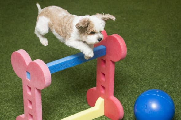 Rosie the Cavalier Poodle Cross, or Cavapoo, playing on an indoor state-of-the-art hygienic artificial grass play area at Bellslea Hills Pet Hotel and Spa. PRESS ASSOCIATION Photo. Picture date: Wednesday March 11, 2015. A new hotel with private suites, temperature-controlled flooring and a state-of-the-art spa has opened - catering only for dogs. Bellslea Hills Pet Hotel and Spa opened this week in Ayr and is based on facilities in Beverley Hills and Hollywood, staff said. Photo credit should read: Danny Lawson/PA Wire