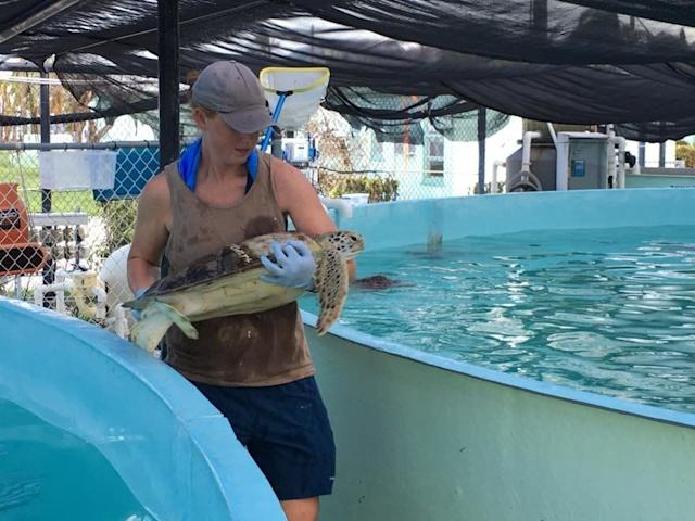Most of the turtles at the hospital typically reside in an outdoor tidal pool. Before Hurricane Irma hit, the staff relocated the turtles to safer tanks. That included two 33,000-gallon tanks located outside on higher ground that were purchased through a grant for these types of disasters.