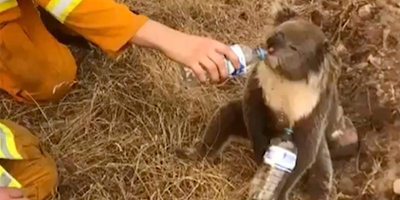 In this image made from video taken on Dec. 22, 2019, and provided by Oakbank Balhannah CFS, a koala drinks water from a bottle given by a firefighter in Cudlee Creek, South Australia.