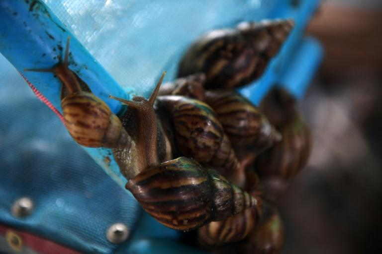 Snails in Thailand's farms were once the scourge of rice farmers, loathed for eating the buds of new crops