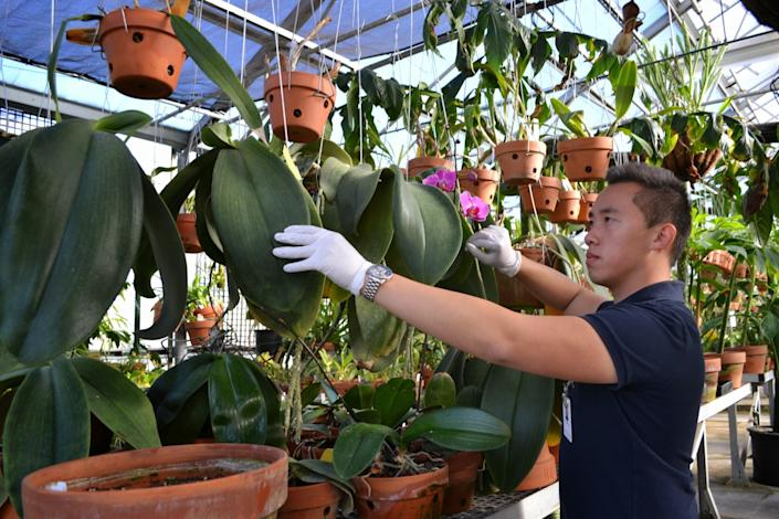 """Brandon Tam with Phalaenopsis gigantea in the greenhouse at the Huntington Library. <span class=""""copyright"""">(Huntington Library)</span>"""