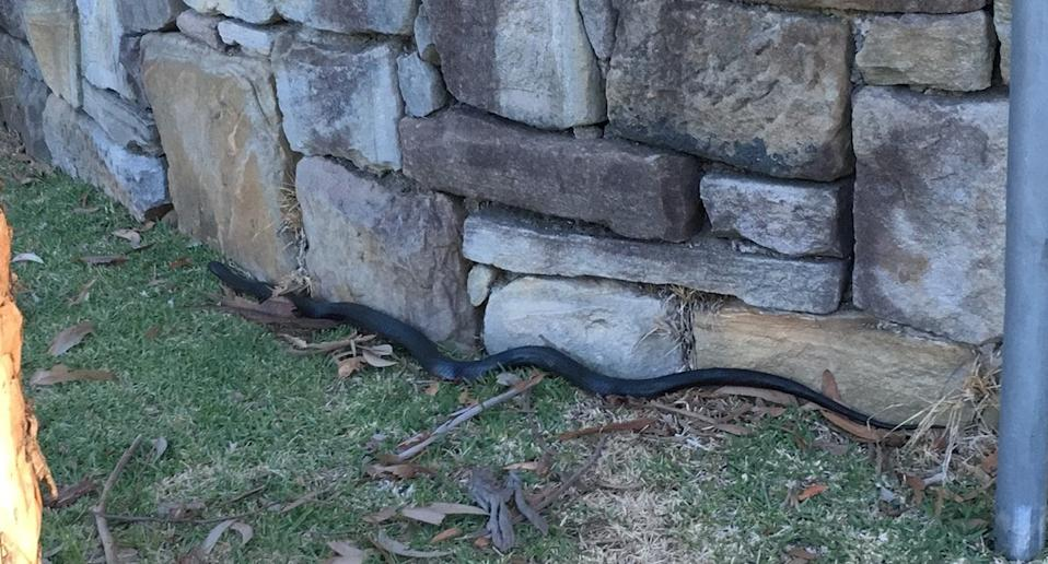 A red-bellied black snake that hitched a ride inside a car.