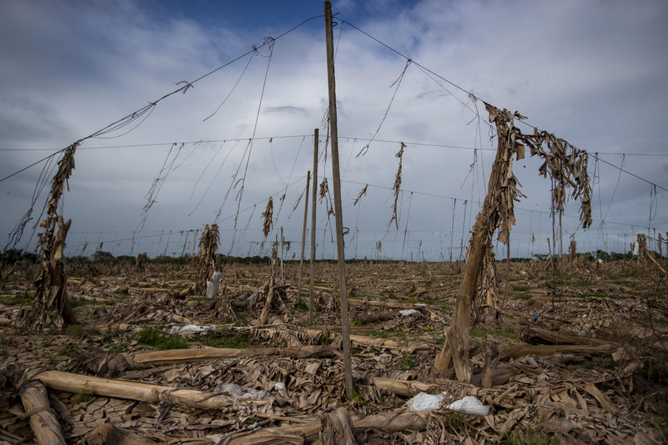 A banana plantation lays in ruins after last year's hurricanes Eta and Iota in La Lima, on the outskirts of San Pedro Sula, Honduras, Wednesday, Jan. 13, 2021. The Sula Valley, Honduras' most agriculturally productive, was so heavily damaged that international organizations have warned of a food crisis. (AP Photo/Moises Castillo)