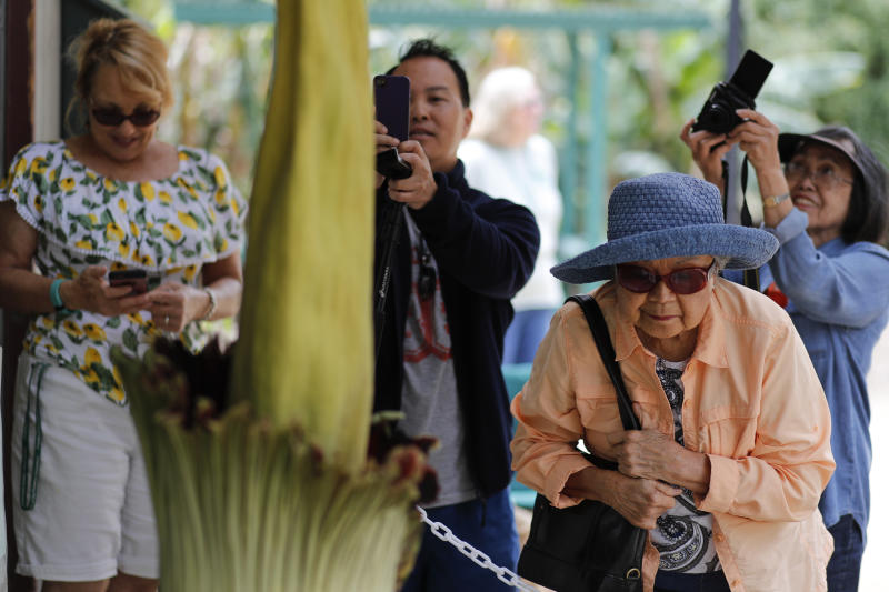People take pictures of an Amorphophallus titanum, better known as the corpse flower, at Cal State Fullerton Tuesday, May 16, 2017, in Fullerton, Calif. The flower lets off a smell while blooming, that some say is akin to smelling like rotting flesh. (AP Photo/Jae C. Hong)