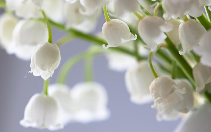Lily of the valley makes clumps that can be split when the plant is dormant - Getty Images Contributor