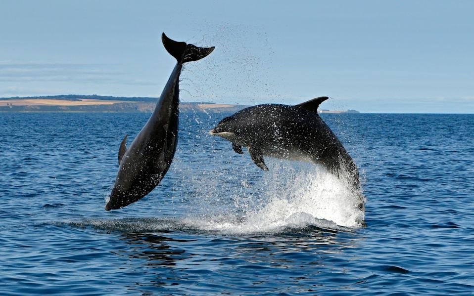 Bottlenose dolphins breaching from the water, Moray Firth, Scotland - www.alamy.com