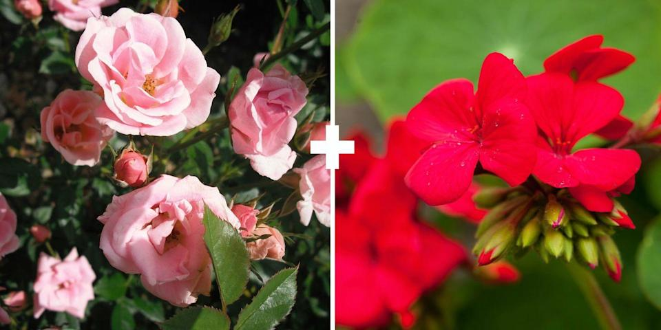 <p>Plants with a strong odor or taste are said to discourage beetle and aphids. While there's no guarantee it works, it's certainly worth giving it a try to prevent roses from getting eaten by these pesky little bugs, which seemingly multiply overnight.<br></p>