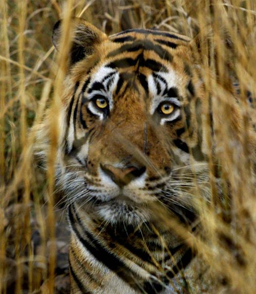 FILE - In this March 23, 2000 file photo, an Indian tiger looks out from a camouflaged cover of strawgrass in the Ranthambhore National Park in India. Maharashtra, western Indian state, on Tuesday, May 22, 2012 declared war on animal poaching by sanctioning its forest guards to shoot hunters on sight in an effort to curb rampant attacks against tigers, elephants and other wildlife. About half of the world's estimated 3,200 tigers are in dozens of Indian reserves set up since the 1970s. (AP Photo/J. Scott Applewhite, File)