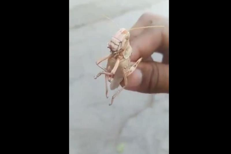 'Caught Red-handed': This Man's 'Interrogation' of Locust is the Funniest Thing in Face of Crisis