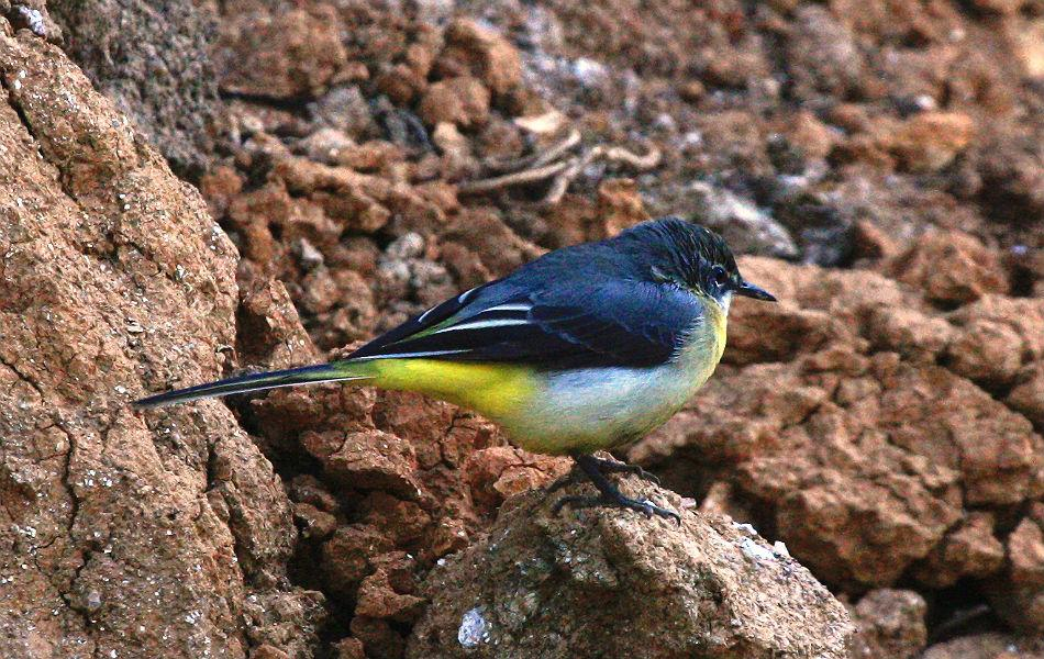 """<b>Grey Wagtail:</b> """"Wagtail"""" -- because it wags its tail, not dog-like sideways but up and down. Grey not on face value, but to tell it apart from its cousins - Citrine, Yellow, White and Pied."""
