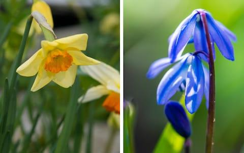 <span>Daffodil 'Jetfire' (Left); Siberian squill 'Spring Beauty' (right)</span> <span>Credit: Getty </span>