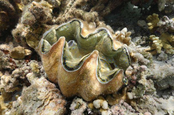 PHOTO: In this May 27, 2019, file image, a giant clam is shown in the waters off Runit Island, Marshall Islands. The U.S. Department of Energy has disclosed high levels of radiation in giant clams in a lagoon near the Runit Dome. (Carolyn Cole/Los Angeles Times via Polaris, FILE)