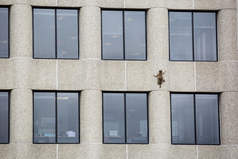 A raccoon scurries up the side of the UBS Tower in St. Paul, Minn., on June 12, 2018.