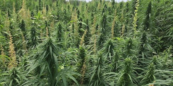 Kali-Extracts:Hemp Field