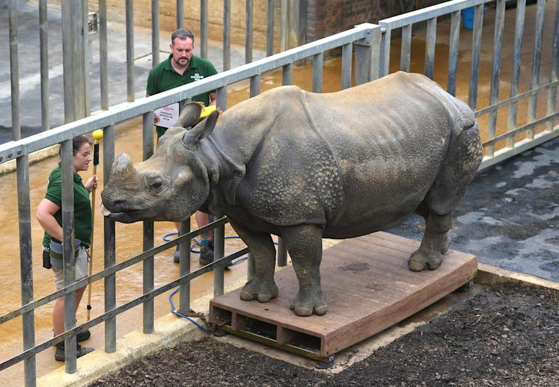 Behan, the greater one-horned rhinoceros.